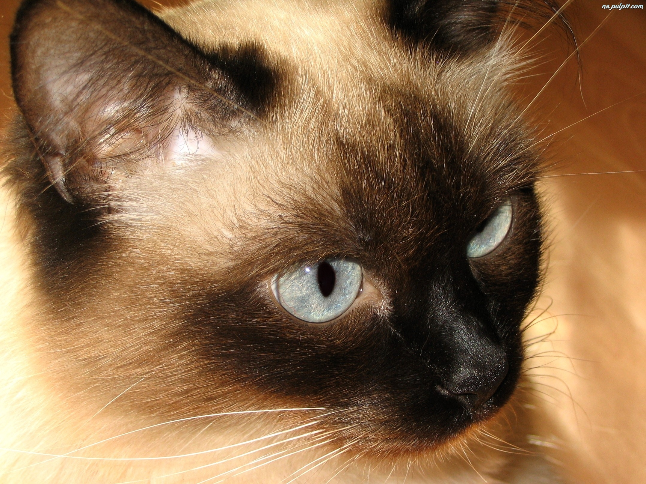 Oczy kotek syjamski na pulpit for La coda del gatto